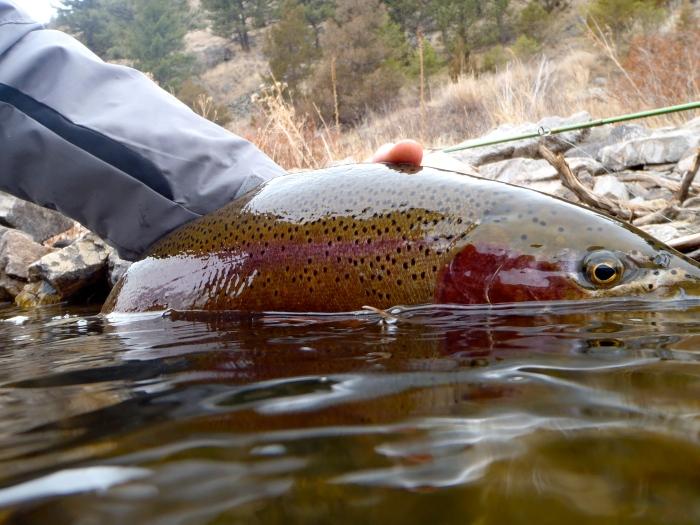 rainbow trout on missouri river